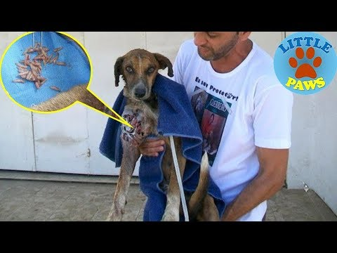 Rescue an Abandoned Dog Sarving & Maggot Infested | Amazing Recovery