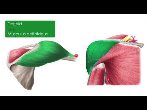 Download Muscles of the upper arm and shoulder blade   Human Anatomy   Kenhub