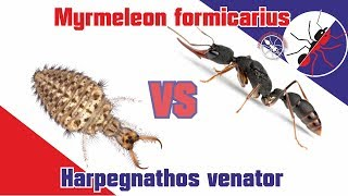 Battle. Ant killer vs ant killer! Harpegnathos venator vs Myrmeleon formicarius