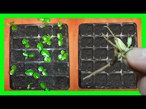 Мандарин из косточки | 100 % Мандариновое дерево | Домашний мандарин