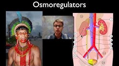 hqdefault - Explain The Role Of The Kidney In Osmoregulation