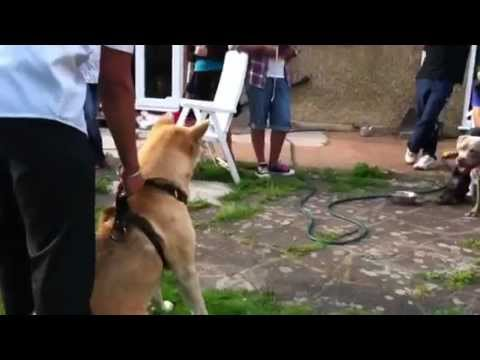 Japanese akita being introduced to a Pitbull
