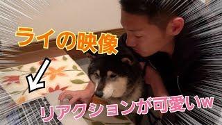 チャンネル登録よろしく!!! 愛犬ライにライ自身の動画を見せたら可愛...