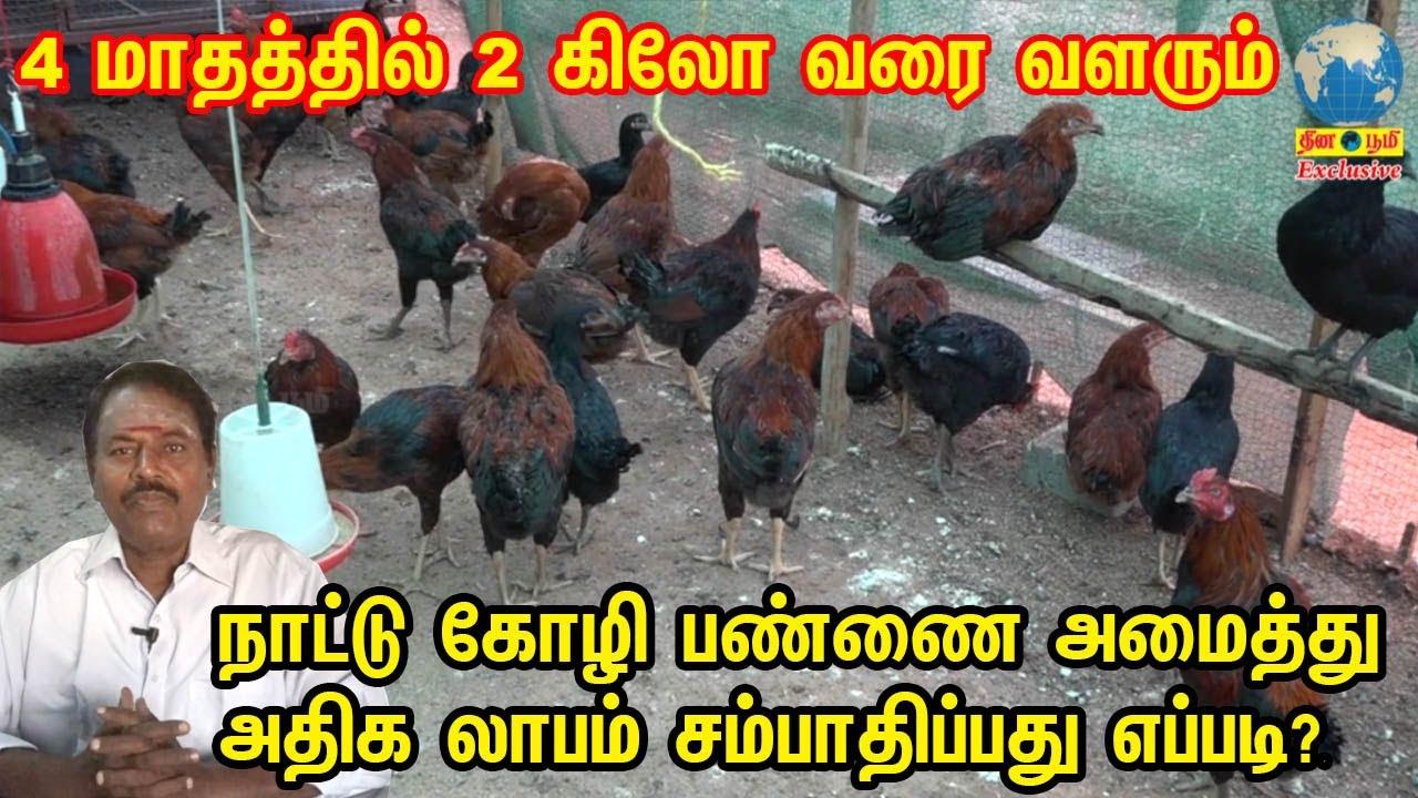 நாட்டு கோழி பண்ணை அமைத்து அதிக லாபம் சம்பாதிப்பது எப்படி? | Country Chicken Farming In Tamil
