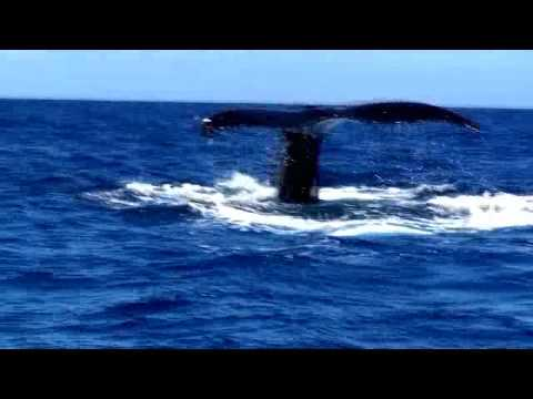 Whale Pestering in Tonga