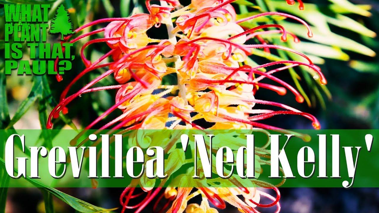 Grevillea Ned Kelly Masons Hybrid Ornamental Spreading Shrub