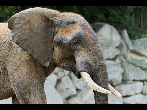 Elefantenbulle Shaka übersiedelt nach England I Tiergarten Schönbrunn