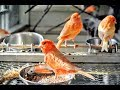 Canary Singing  The Best Canary Training Sound Birds Training  Mp3 - Mp4 Download