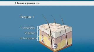 Анатомия и физиология кожи