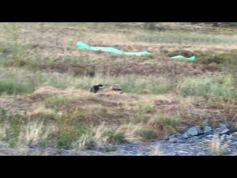 Fox kits playing in Yellowknife