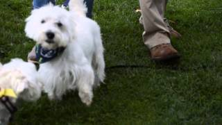 Westie Sock Race - Fun Daze