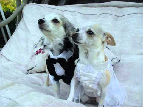 Dog Wedding Dresses Receiver Mail Order