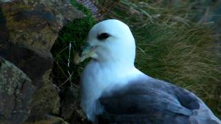 Fulmar at Hells Mouth in Cornwall