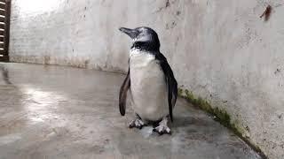 Una familia cordobesa tenía un pingüino de Magallanes en el patio de su casa