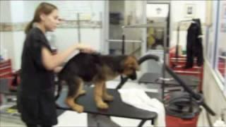 German Shepherd Puppies Grooming