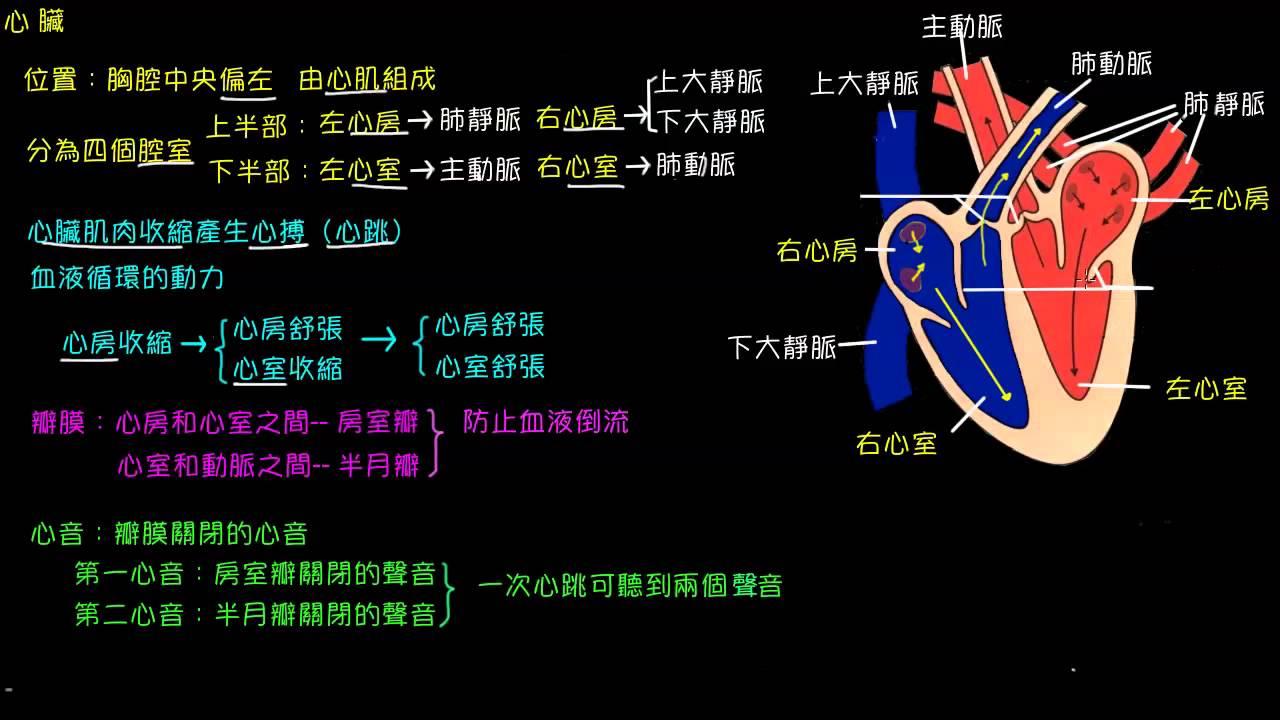人體血液循環的組成--心臟 - YouTube