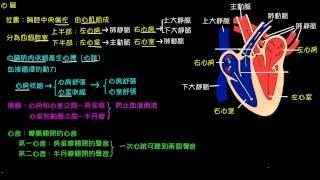 人體血液循環的組成--心臟