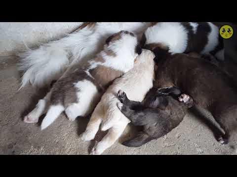 새끼 강아지 6마리(세상구경22일차) #9화 (60FPS) Korea Dogs