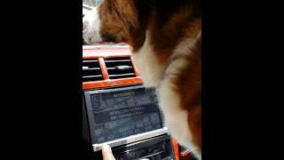 車で移動中カーナビのモニターを鼻で押し行き先変更を要求する犬人です!
