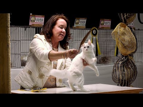 CFA International Cat Show 2017 - Hope Gonano Longhair Kitten Final