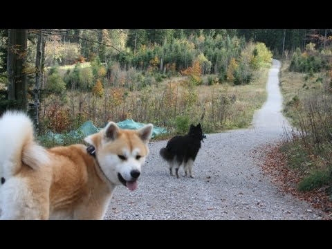 wandering off leash in the mountains with Akita Inu and Lapphund