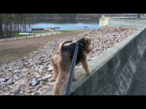 Welsh Terrier Walking Up High In The Sky Over Falls Lake Dam
