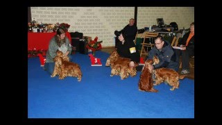 Rote Abbadon's Auf Der Show  - English Cocker Spaniels -