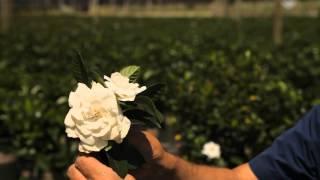 How to Cut Gardenias for a Vase : Garden Savvy