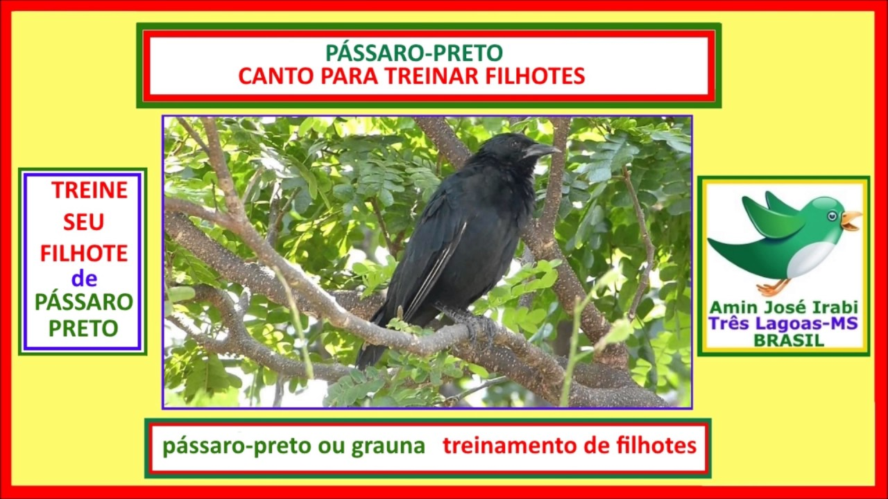 TREINE SEU PÁSSARO:  pássaro-preto ou grauna - CANTO PARA TREINAR FILHOTES #dicas de aves exóticas
