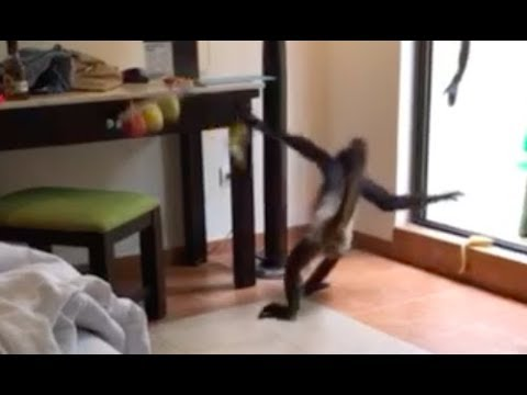MONKEY STEALS A BANANA FROM MY HOTEL ROOM? Xcaret Mexico
