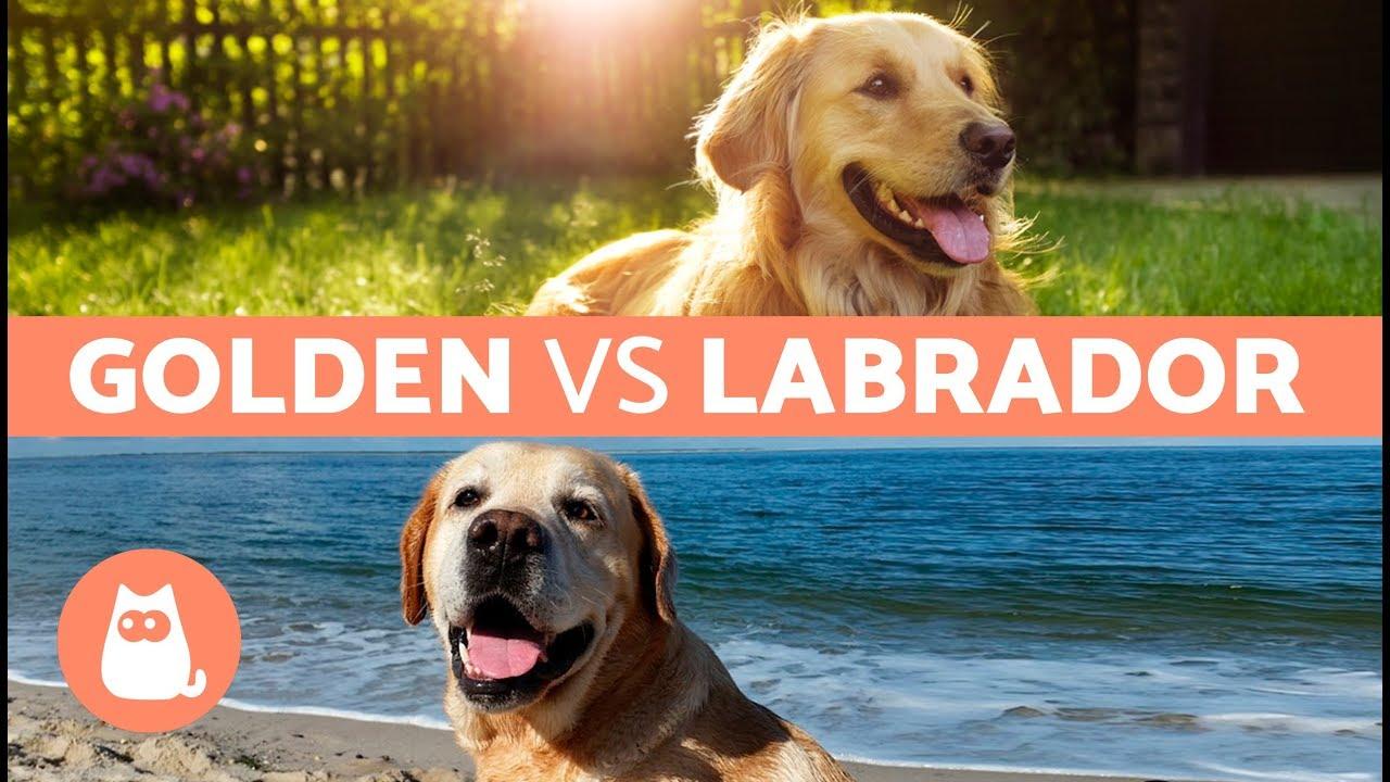 Golden Vs Labrador Differences Between Labrador Retriever And