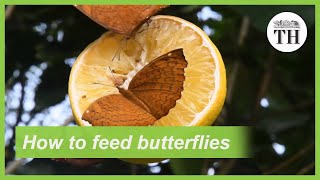 Feeders to supplement nectar need of butterflies