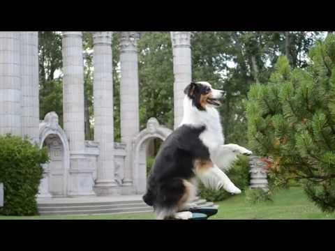 Amazing dog tricks  Cohen the Australian Shepherd
