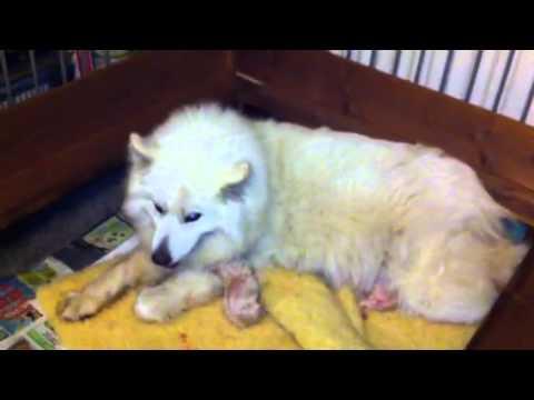 Newborn Samoyed puppys - YouTube