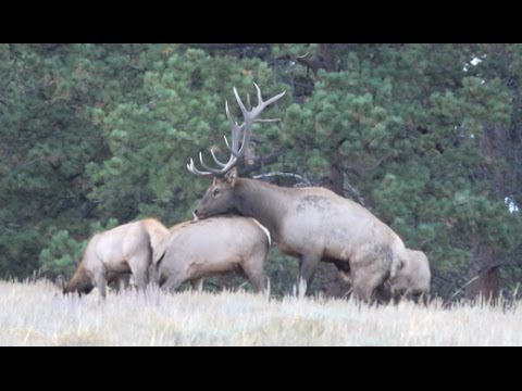 Colorado Elk Rut and Bugling in Rocky Mountain National Park - 4k UHD