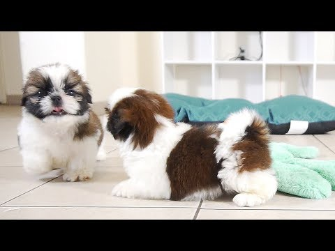 2 Adorable Shih Tzu Puppies | So Playful