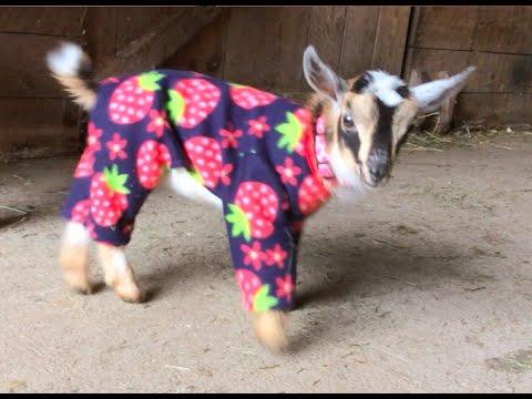 Goat Babies in Pajamas!
