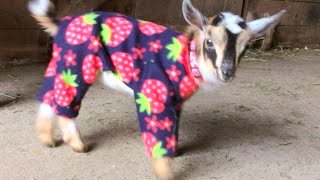 Goat Babies in Pajamas!