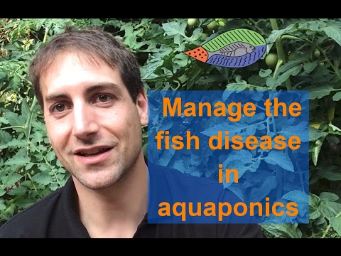 The key points to manage the fish disease in aquaponics