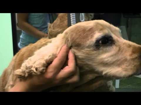 Come gestire le orecchie del cane? Sfatiamo alcune bufale ...