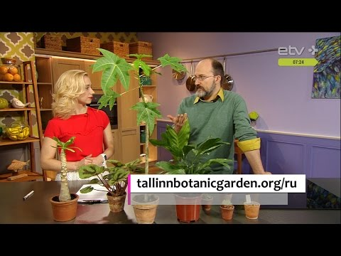 Старший садовник Ботанического сада:  Как вырастить комнатные пальмы, авакодо и папайя