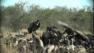 Vulture Army Kruger National Park