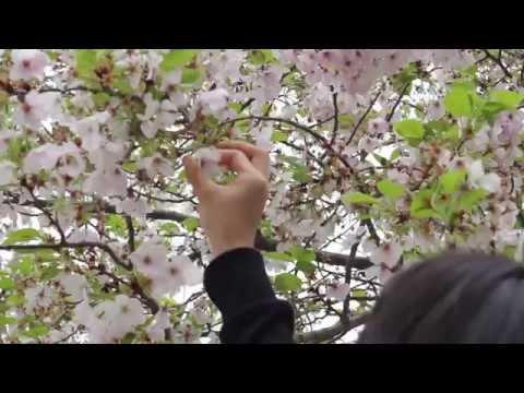 Musim Semi dan Bunga Sakura di Jepang