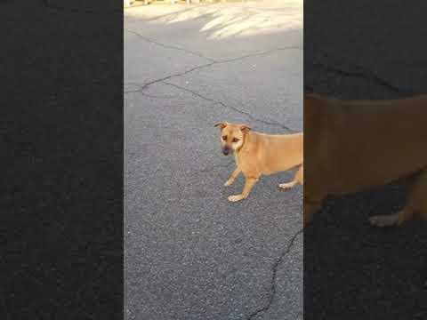 Indian Pariah dog Pickles seen @ Bowmans Garden Center