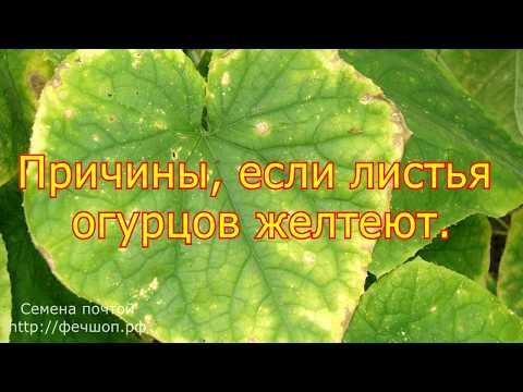 Причины, если листья огурцов желтеют