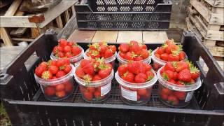 Содовая фирма Виктория предлагает: свежую ягоду и саженцы клубники!(, 2016-07-28T21:02:46.000Z)