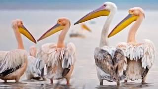 Ak Pelikanların Göçü - Migration of Great White Pelican