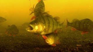 Fishing: catching perch, attacks, underwater camera. Рыбалка ловля окуня подводная съёмка