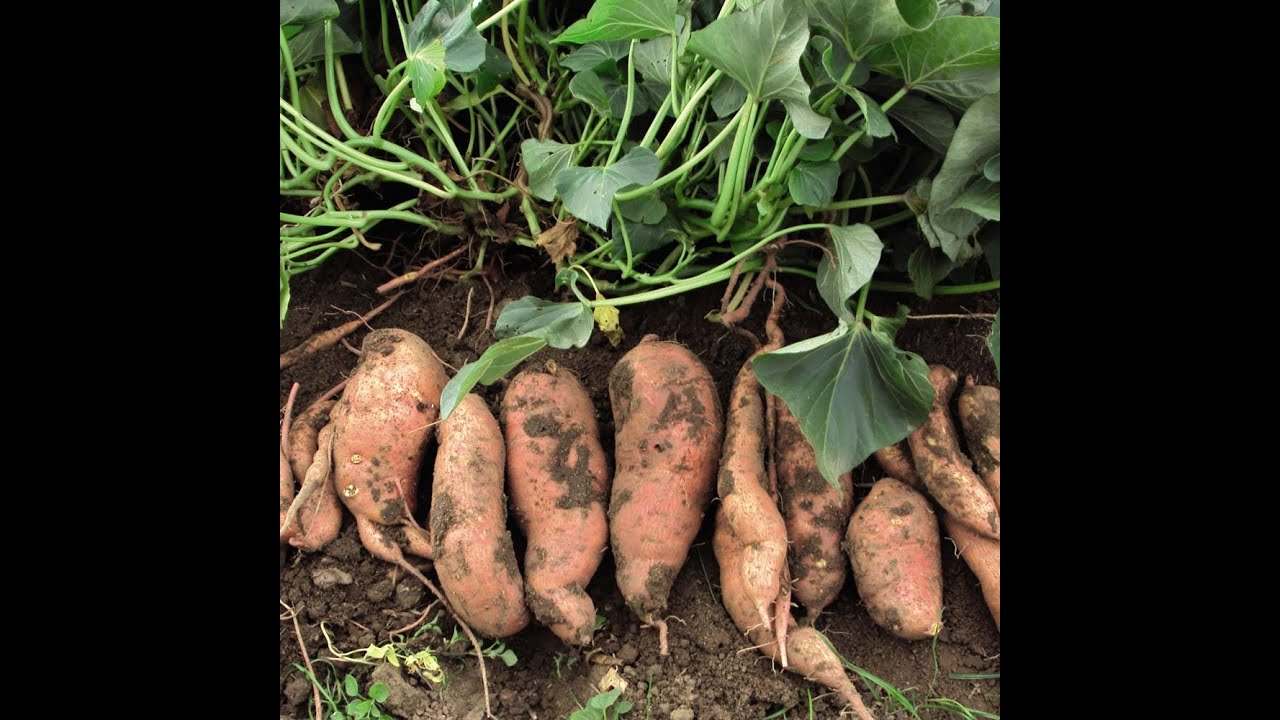 How To Grow Sweet Potatoes In Containers - YouTube