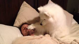 Lexi the Samoyed wakes dad up very gently. She wants to go on a wal...